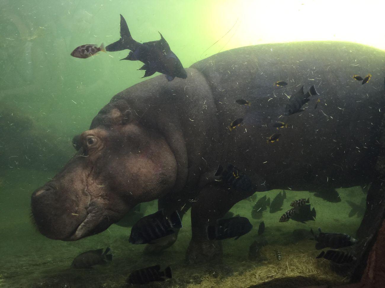 #nofilter Nofilter Noedit Hipopotamó Bioparc Fish Vacations Water Nature IPhoneography IPhone Iphoneonly