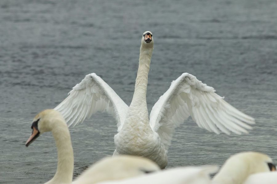 Hello! Animals In The Wild Animal Themes Bird Animal Wildlife Day Nature No People Lake Water Swan Outdoors Swimming Beauty In Nature Close-up Wings Wingspan Wings Spread Water Bird EyeEm Nature Lover EyeEmNewHere EyeEmAwards17