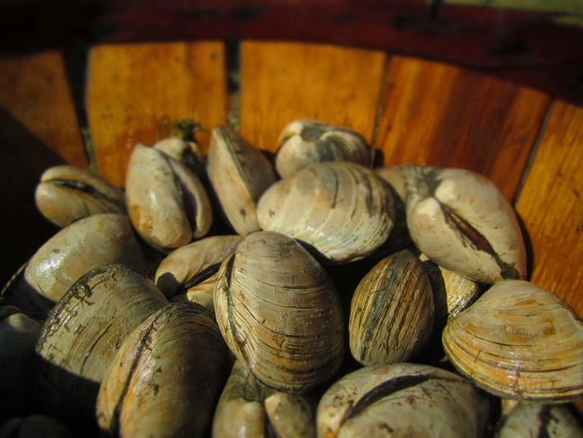 """Lynnhaven River """"Little Neck Clams"""" Seafoods Classy Farm Life Old Bay Seasoning Food And Drink Food Healthy Eating Indoors  No People Business Finance And Industry Freshness Close-up Day"""