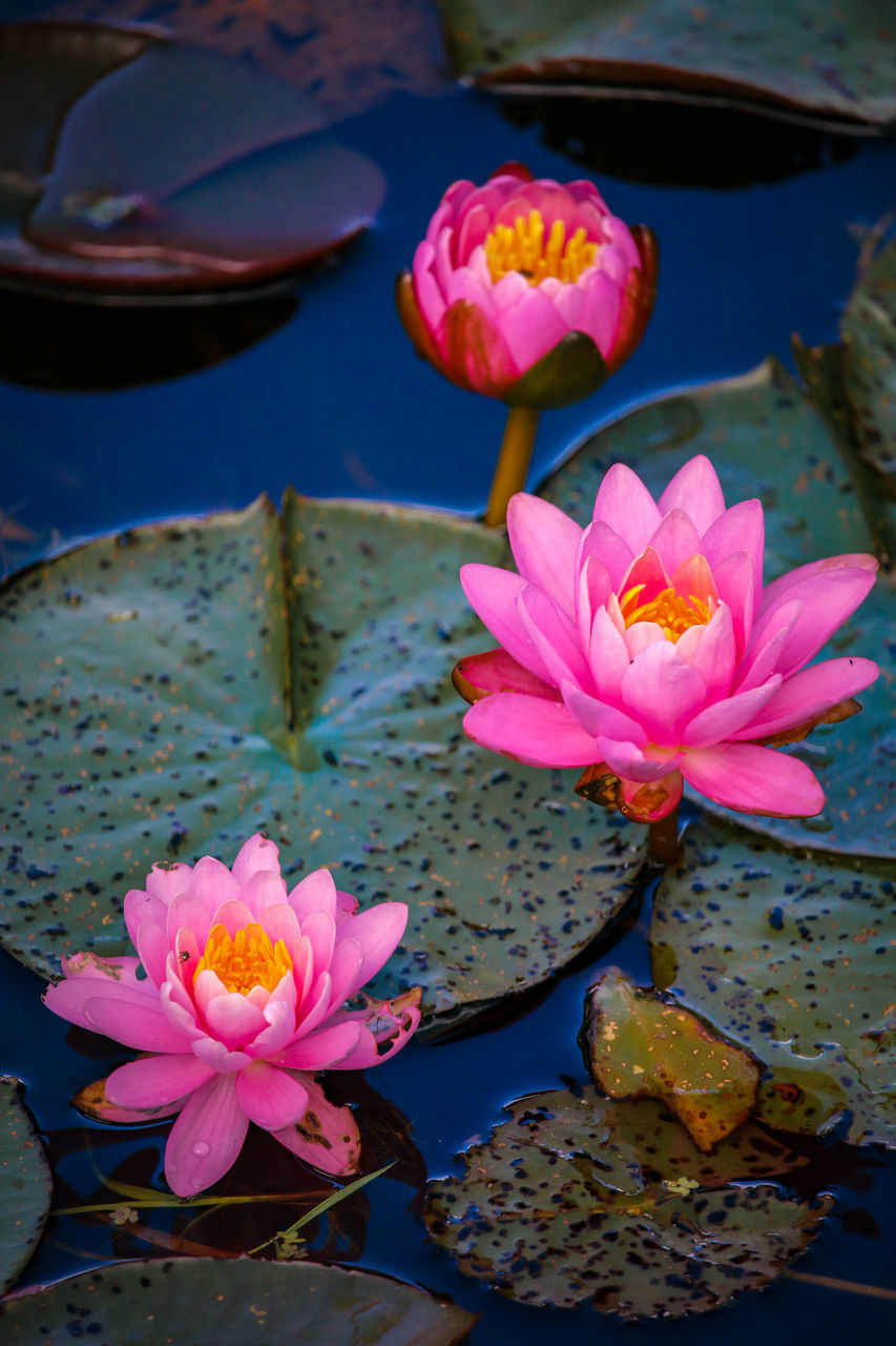 flower, petal, pond, lotus water lily, water lily, beauty in nature, water, flower head, nature, leaf, fragility, lotus, growth, lily pad, freshness, pink color, floating on water, no people, plant, day, outdoors, close-up, blooming, frangipani