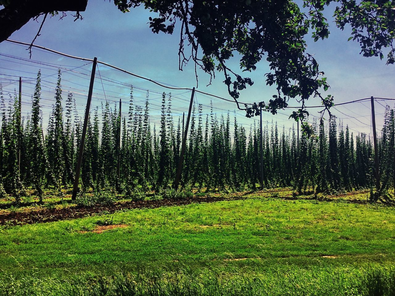 Growing hops in a hops fields in Moravia. Hops Beer Hop Trellis Garden Summer Moravia Fresh Plants Czech Beer Organic Traveling Hop Rhizomes Herbs Vegetable Brewery Beer Production Lupulo Hopland Crops Cultivation