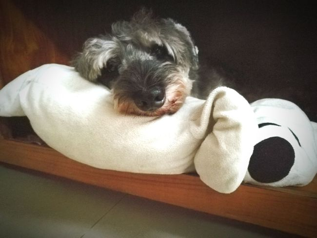 Pet Life  Dog Life Dog Portrait Close-up Dogphoto Doggy Love Schnauzer Schnauzerlife Dog Sleeping  Cute Pets Cute Dog  Animal Wildlife Animal Photography Sleep