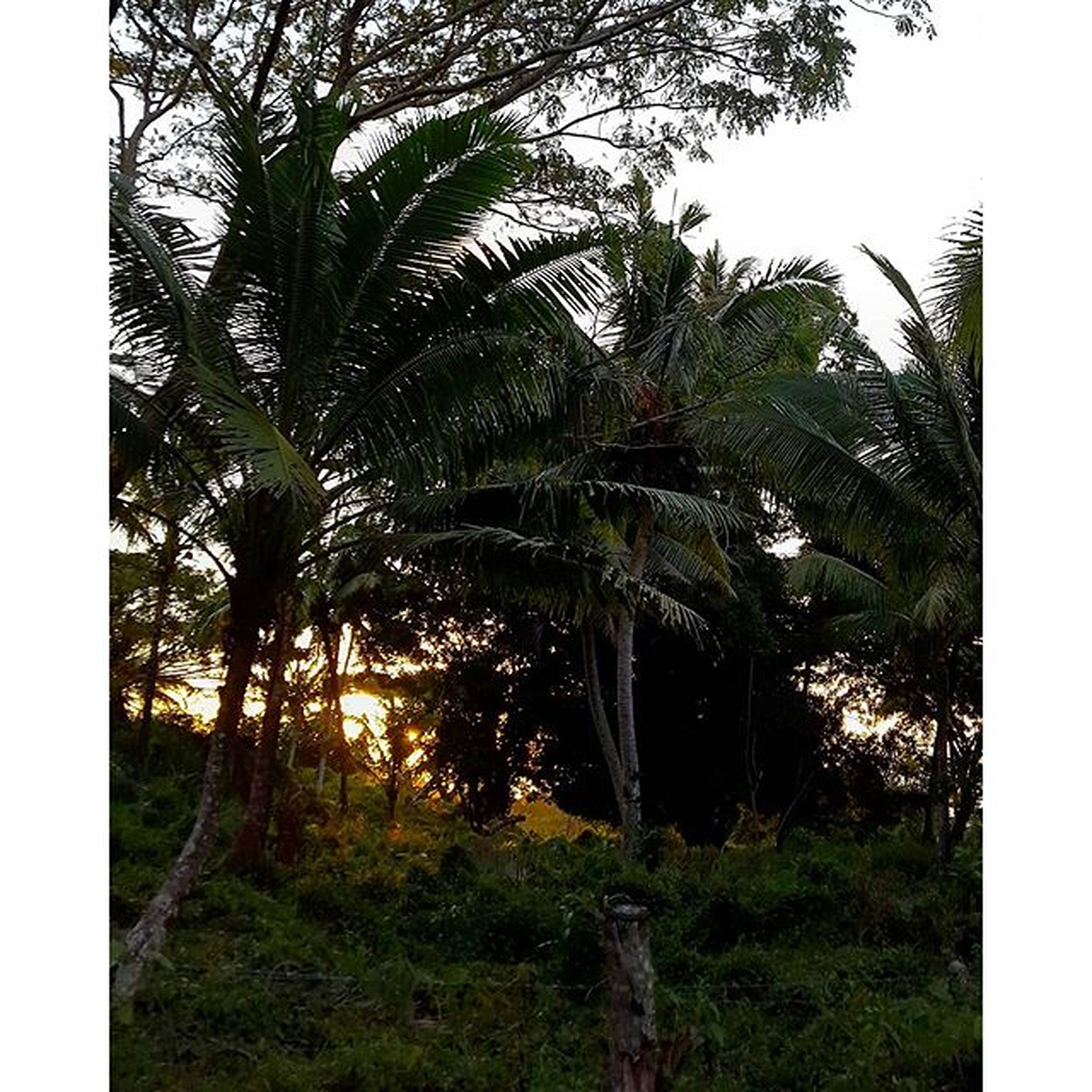 tree, transfer print, growth, tranquility, auto post production filter, palm tree, tree trunk, tranquil scene, nature, grass, green color, sky, beauty in nature, scenics, branch, field, plant, clear sky, landscape, growing