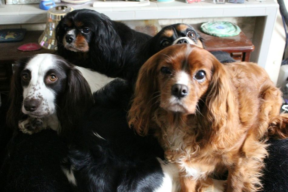 """Made Me Chuckle four in the bed and the little one said """"I can't breathe"""" 😆🐶💖 King Charles Cavalier Sprocker Dogslife The Dog Family EyeEm Gallery Animal Photography Pets Corner Rescuedogsarebest EyeEm Best Shots No Filter No Filter, No Edit, Just Photography Dlsr Canonphotography Dslrphotography Check This Out Showcase: January Pet Life  EyeEm Animal Lover Ruby Black And Tan and Tri Colour"""