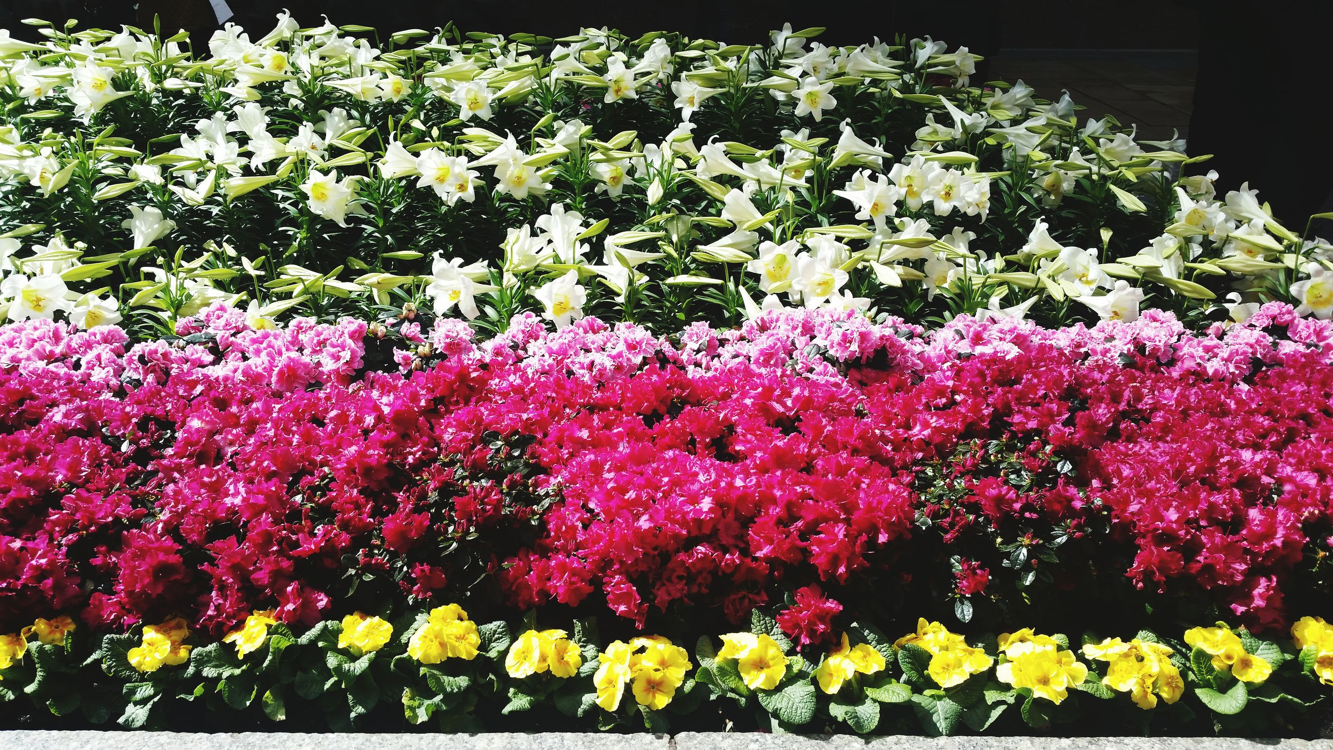 flower, freshness, growth, fragility, beauty in nature, petal, blooming, nature, plant, abundance, flower head, in bloom, flowerbed, blossom, pink color, high angle view, park - man made space, springtime, botany, field