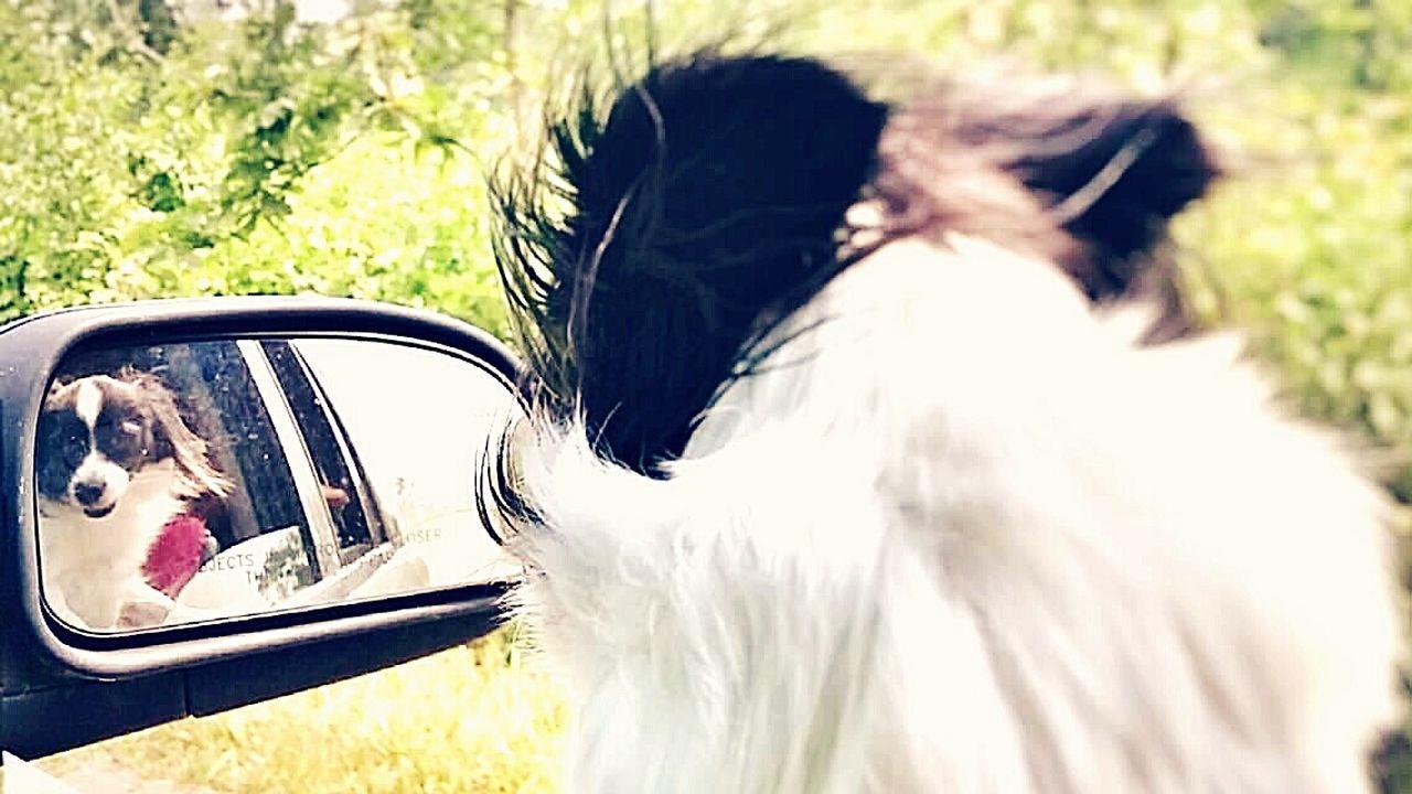 Papillon Dog Papillion, Dog, Cute, Precious, Furry Ilovemydog Freshairinthemorning Freshairdoesnthurt Pets Outdoors Dog Day Headshot Loveanimals Animal No People Domestic Animals Dogsofinstagram Dogslife Dogsofeyeem Dogs_of_instagram Mydog♡ Mydogiscoolerthanyourkids Animal Themes Sun Ridingincar