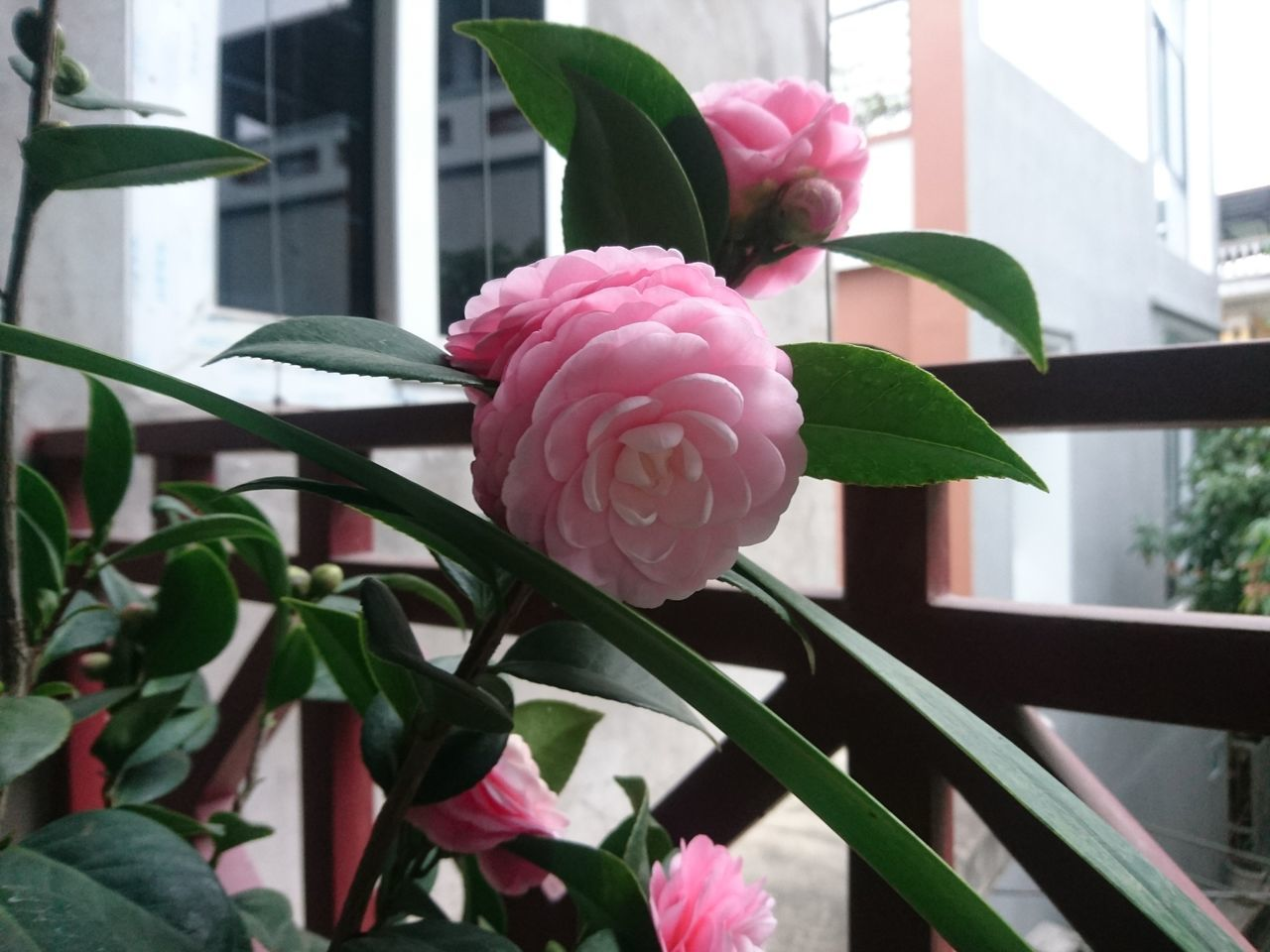 flower, petal, growth, fragility, leaf, freshness, flower head, plant, nature, beauty in nature, focus on foreground, pink color, blooming, close-up, built structure, rose - flower, day, architecture, outdoors, building exterior, no people