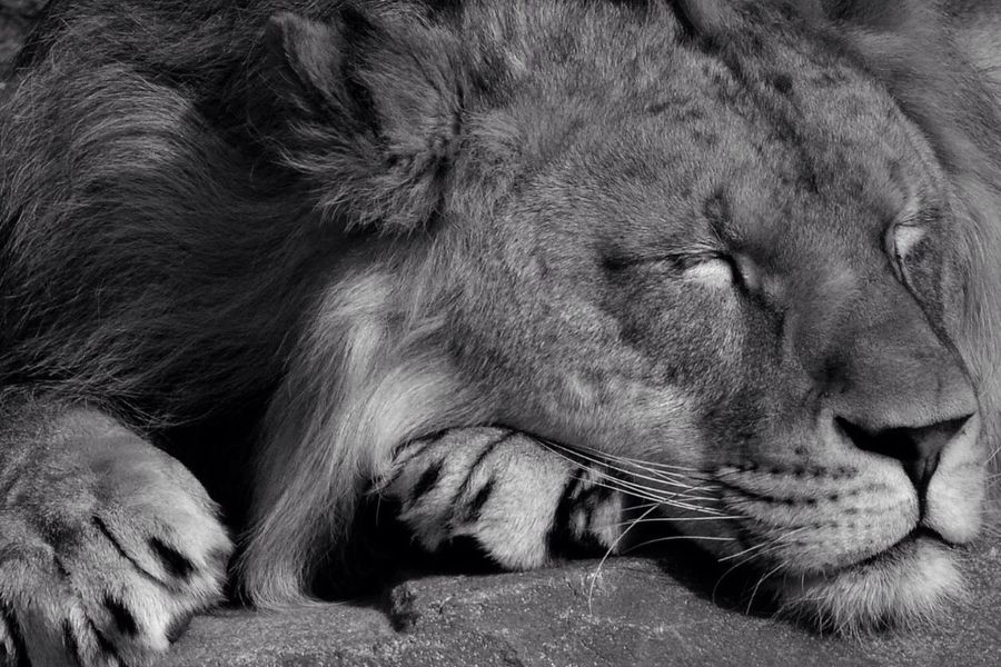 Lion Wildlife Animals Bnw EyeEm Nature Lover Zoo Antwerpen Bnw_friday_eyeemchallenge Subjects Of Summer