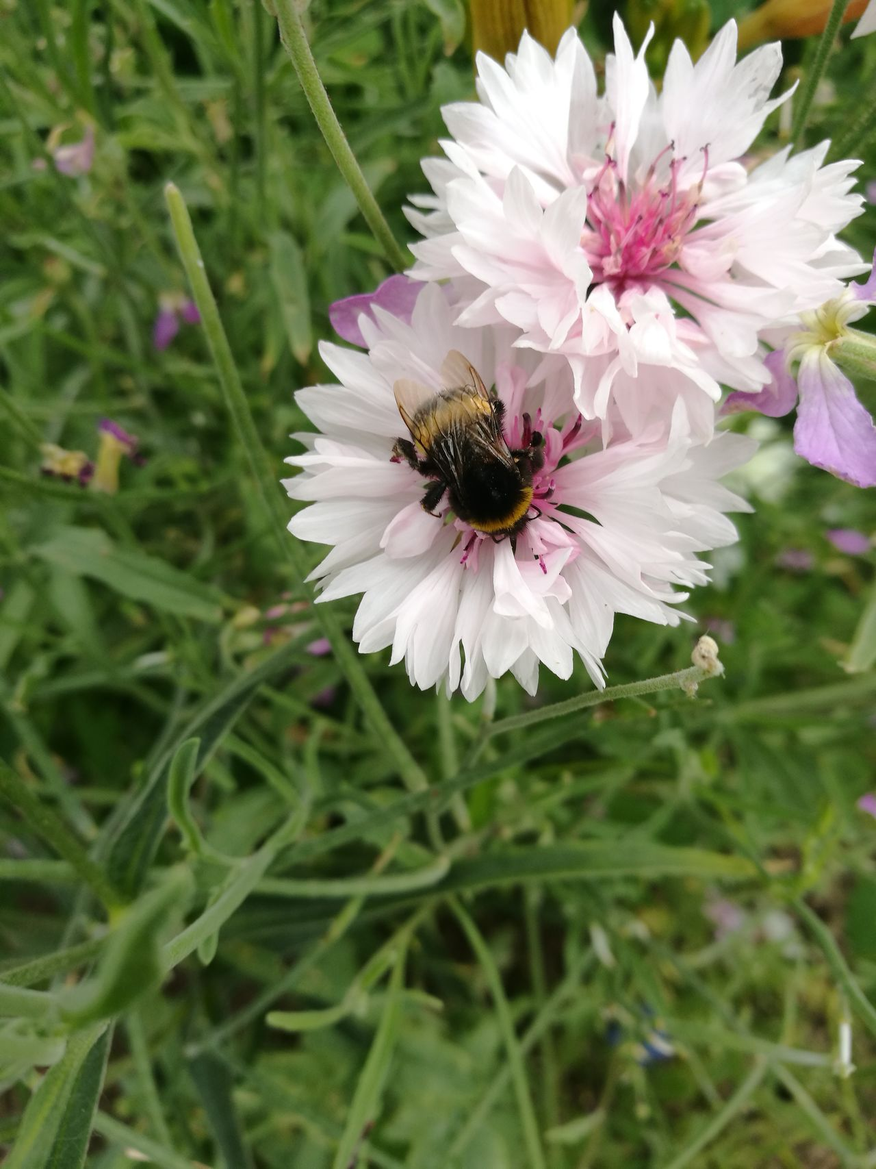 Nature At Work Bumblebee Flower No Filter Huawei
