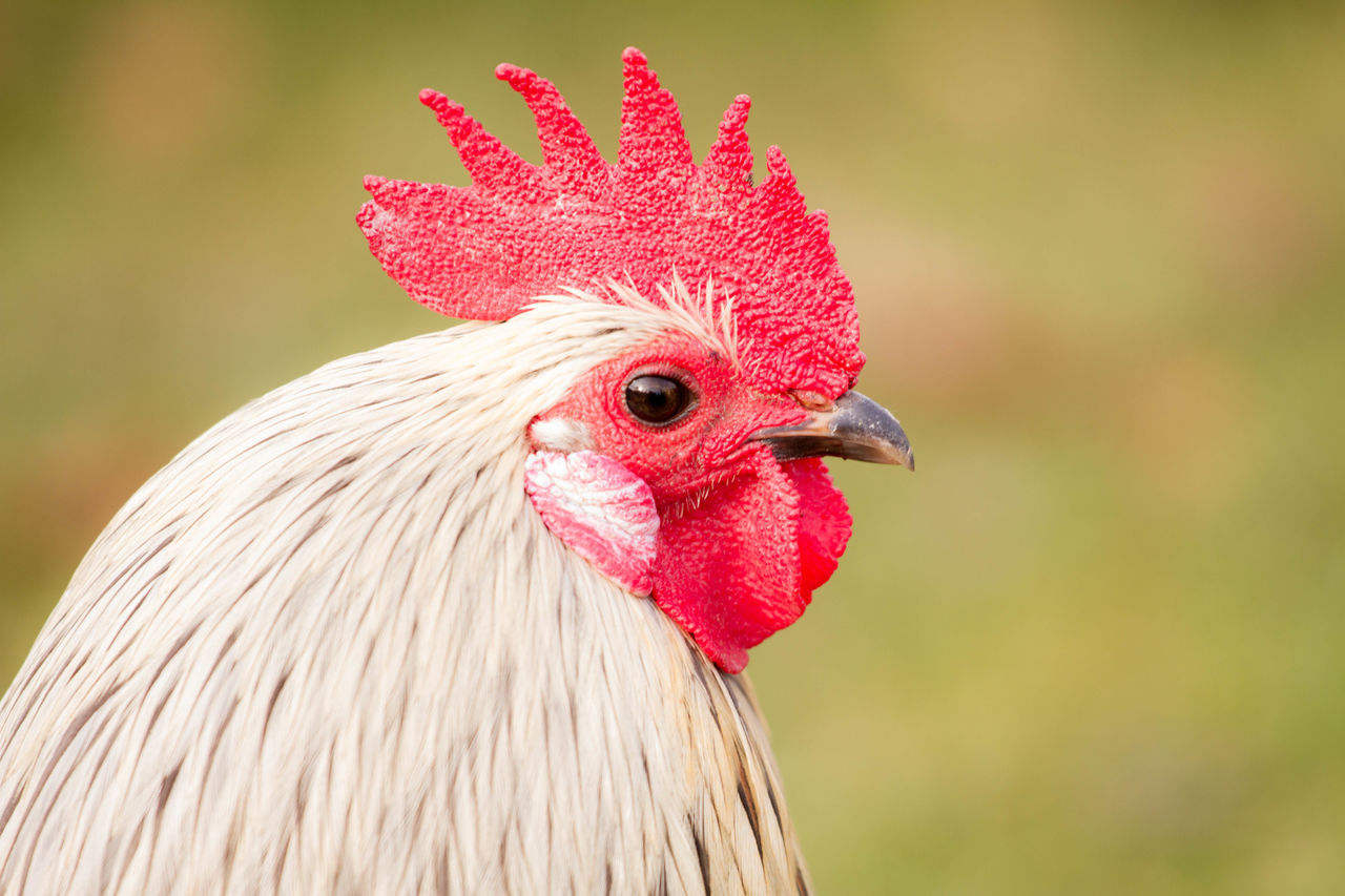Animal Bird Close-up Day Domestic Animals Hahn Nature No People Outdoors Rooster Tiefenschärfe Tier Vogel