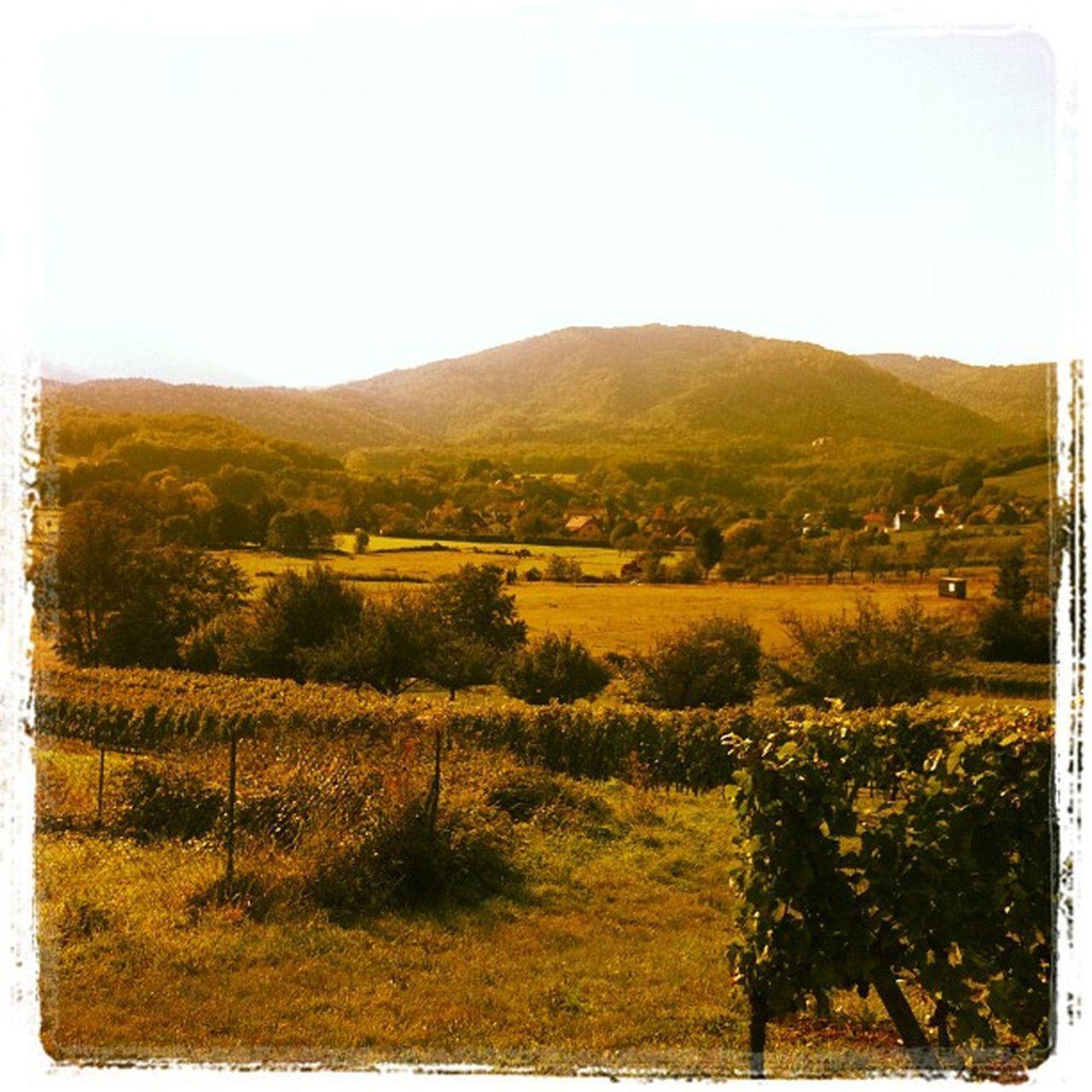 Les vignes!! Alsace