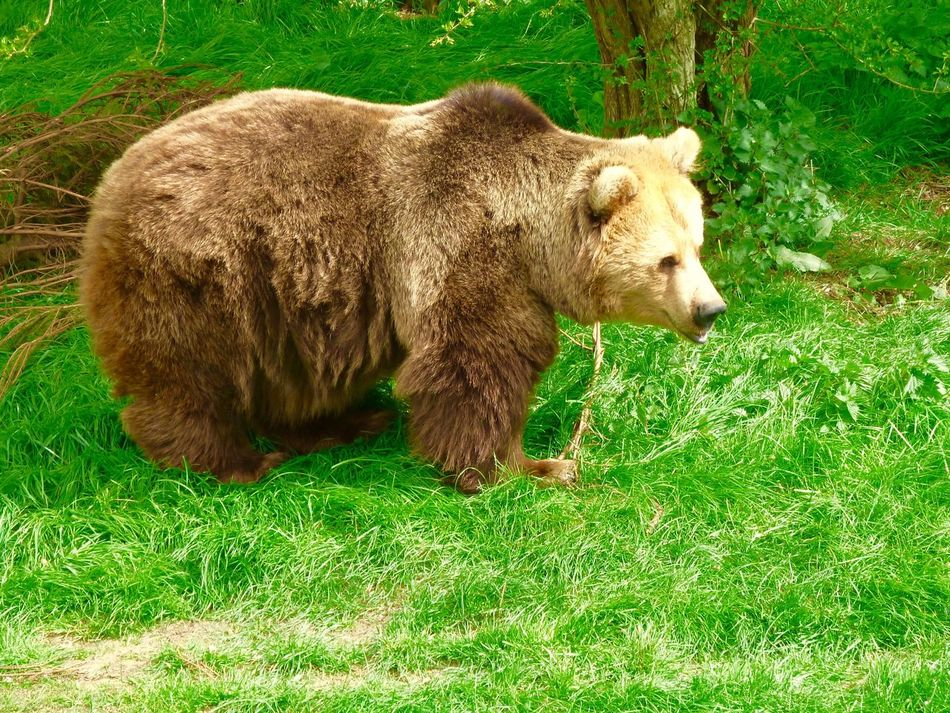 Bear Brown Bear Whipsnade Zoo Nature Beauty In Nature Animal Themes Animals In The Wild Grass