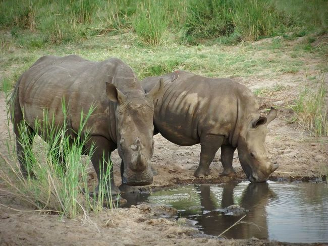 Wildlife & Nature Wildlife Photography Nature_collection Krugerpark Shootwithcamerasnotwithguns Animal_collection Southafrica Lovethisplace Rhinoceros
