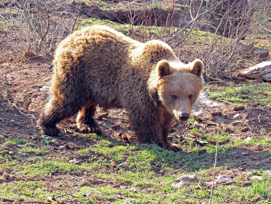 Kuterevo,Lika,Croatia,Europe,refugee camp for young bears,5 Animal Themes Animals Bear Croatia Eu Europe Field Kuterevo Lika Mammal Nature One Animal Outdoors Refugee Camp Refugee Center Springtime Young Bear Zoology