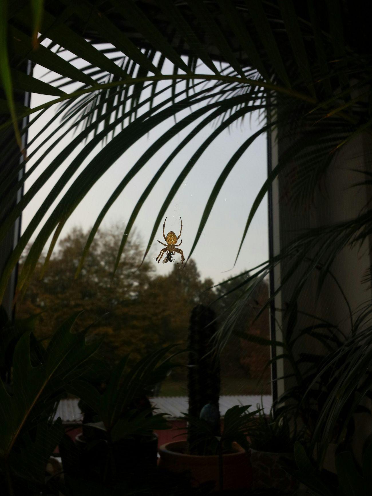 Kreuzspinne Gartenkreuzspinne Kreuzspinne Tarantula