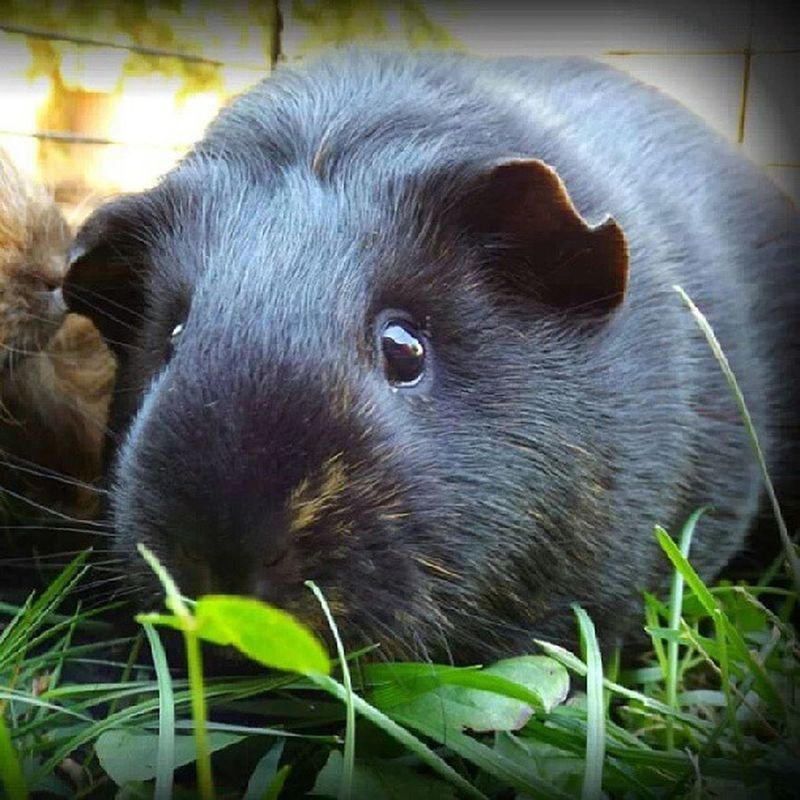 Cavvies Guineapigs BabyPigs Awesome Amazing Outdoors❤ Love Restinpeace Guinea Pig Animals Animal Photography Animal Love Animals In The Wild