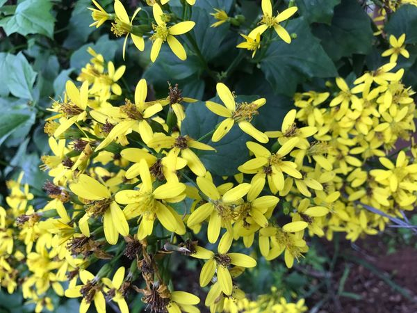 Paint The Town Yellow Growth Nature Flower Yellow Fragility Plant Day Leaf Beauty In Nature Outdoors Petal Freshness Green Color No People Flower Head Close-up