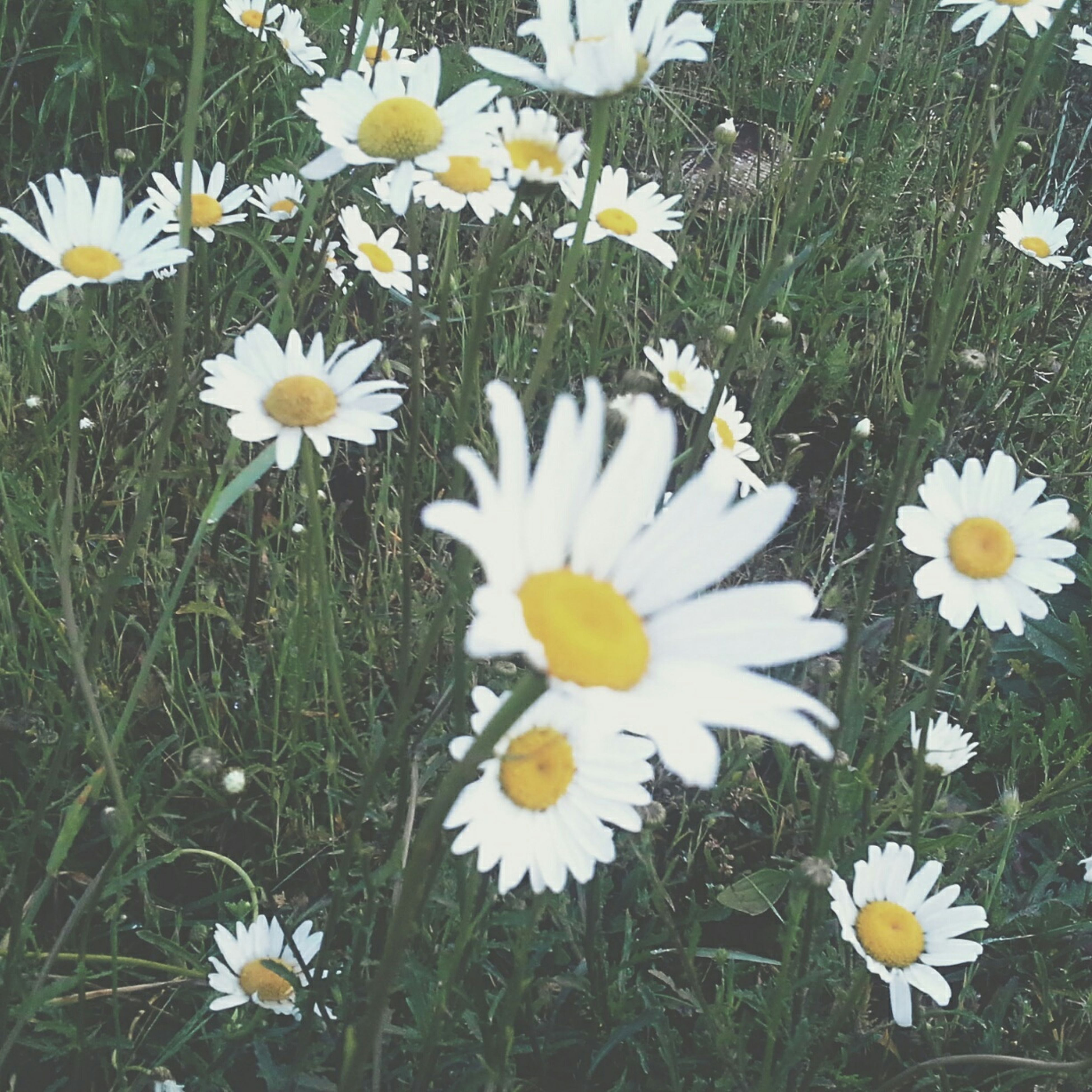 flower, freshness, petal, white color, fragility, daisy, growth, flower head, beauty in nature, blooming, field, nature, plant, pollen, yellow, high angle view, white, grass, stem, in bloom