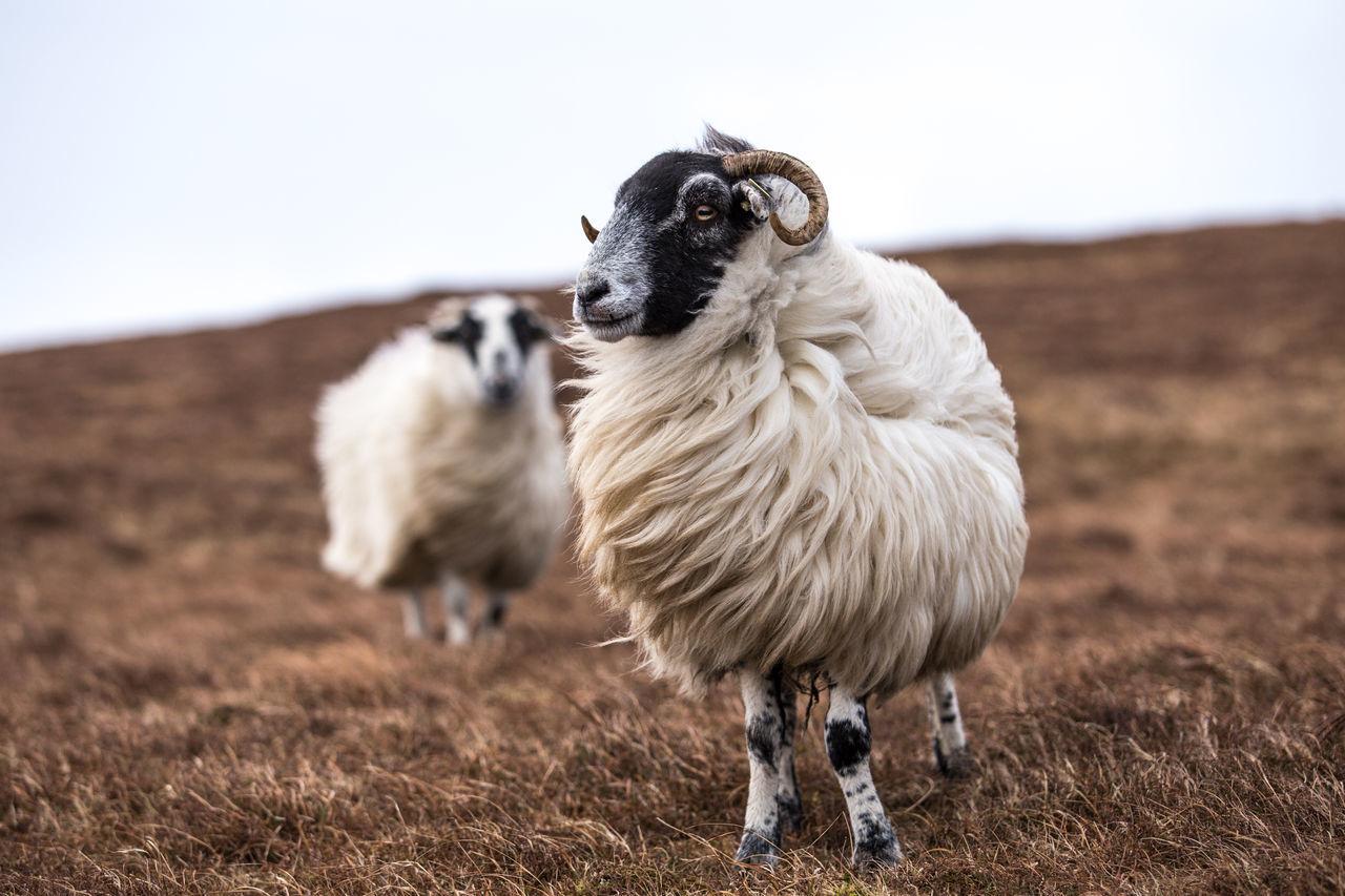Animal Themes Domestic Animals Ireland Ireland🍀 Livestock Nature No People Outdoors Schafe Schottland Scotland Scotlandsbeauty Sheep Sheeps Sheepworld Storm Stormy Weather Wind Windig Windy Windy Day