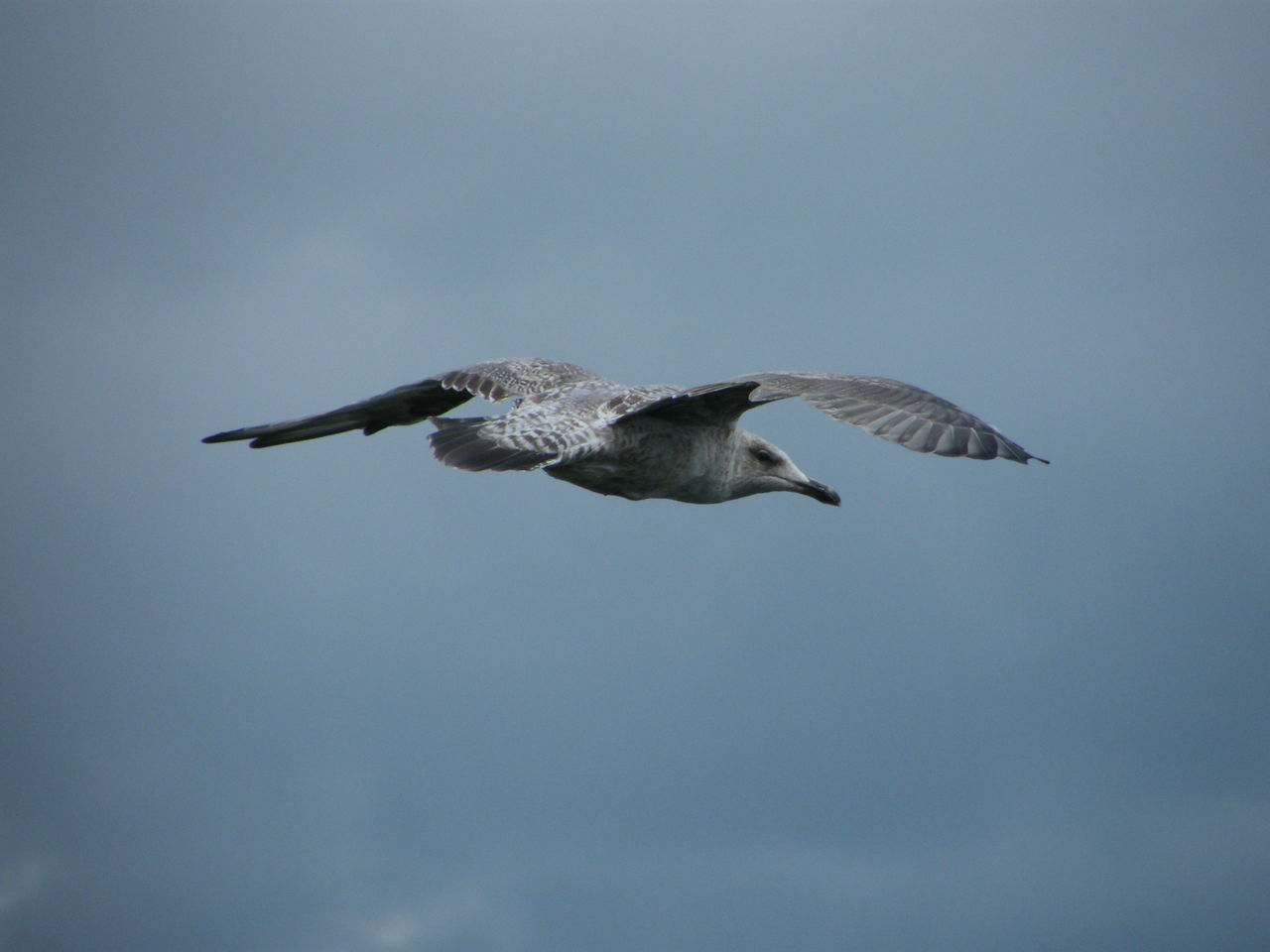 Animal Themes Animals In The Wild Bird Clear Sky Day Flying Gull Herring Gull Juvenille Low Angle View Mid-air Motion Nature No People One Animal Outdoors Pembrokeshire Pembrokeshire Coast Pembrokeshire Coastal Path Seagull Sky Spread Wings Tenby