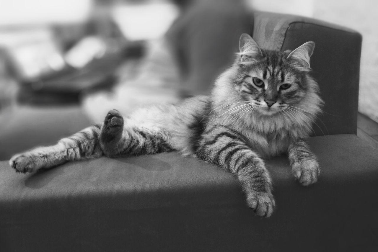 My lovely cat ❤️ CattSiberiannSiberiancattMycattCute PetssBeautiful Animals s Lovely