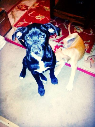 Jimmy and django Cute Pets Pit Bulls In Love With My Dogs I Love My Dog