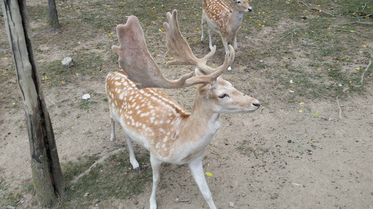 animals in the wild, animal themes, deer, animal wildlife, field, mammal, one animal, no people, day, outdoors, nature