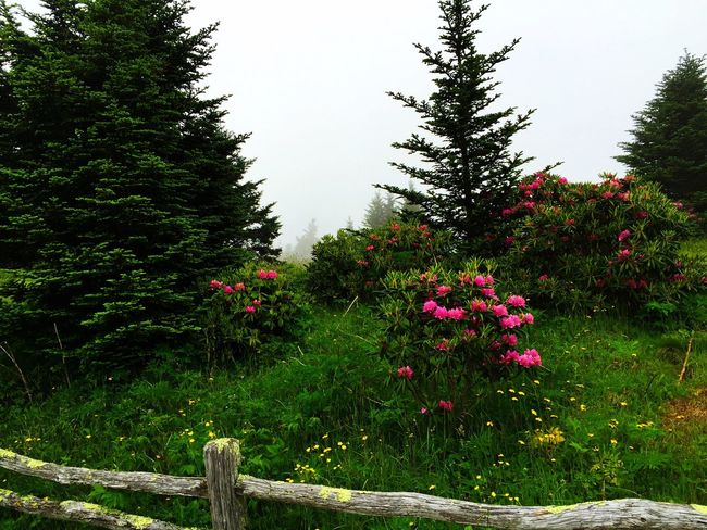 Flower Tree Freshness Beauty In Nature Fence Nature Tranquility Day Springtime Tranquil Scene In Bloom Solitude Outdoors Roan Mountain Tennessee Appalachian Mountains Rhododendron Landscapes