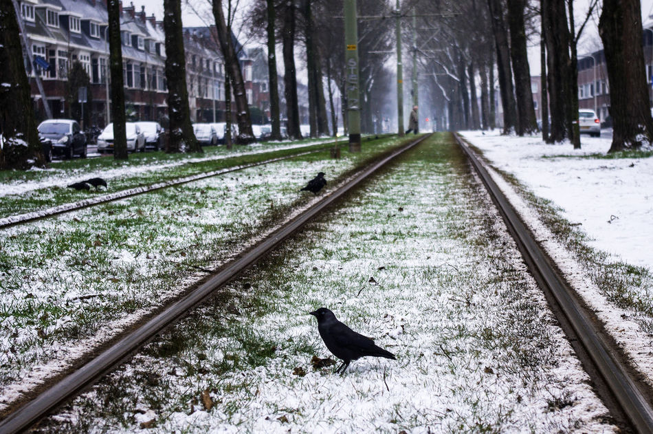 Crows on the railway Bird Black Bird Cold Temperature Crow Day No People Outdoors Perspective Rail Transportation Railroad Track Snow Street Transportation Tree Trees Winter