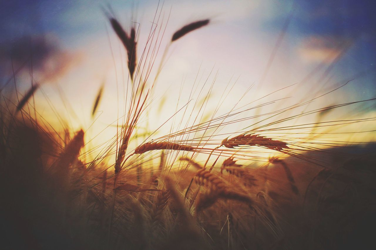 Growth Nature Plant Agriculture Field Crop  Farm Rural Scene Cereal Plant Tranquil Scene Sunset Wheat Tranquility Sky Outdoors Beauty In Nature No People Scenics Close-up Day EyeEm Nature Lover EyeEm Best Shots Grass Summer Outdoor