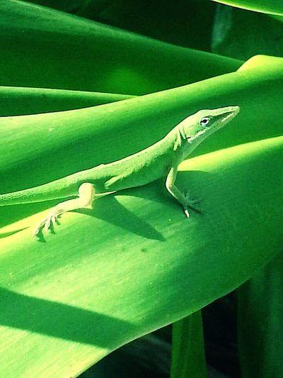 Green lizard posing for the camera. Green Lizard Green Green Green!  Reptilecollection Up Close & Personal EyeEm Gallery EyeEm Best Shots
