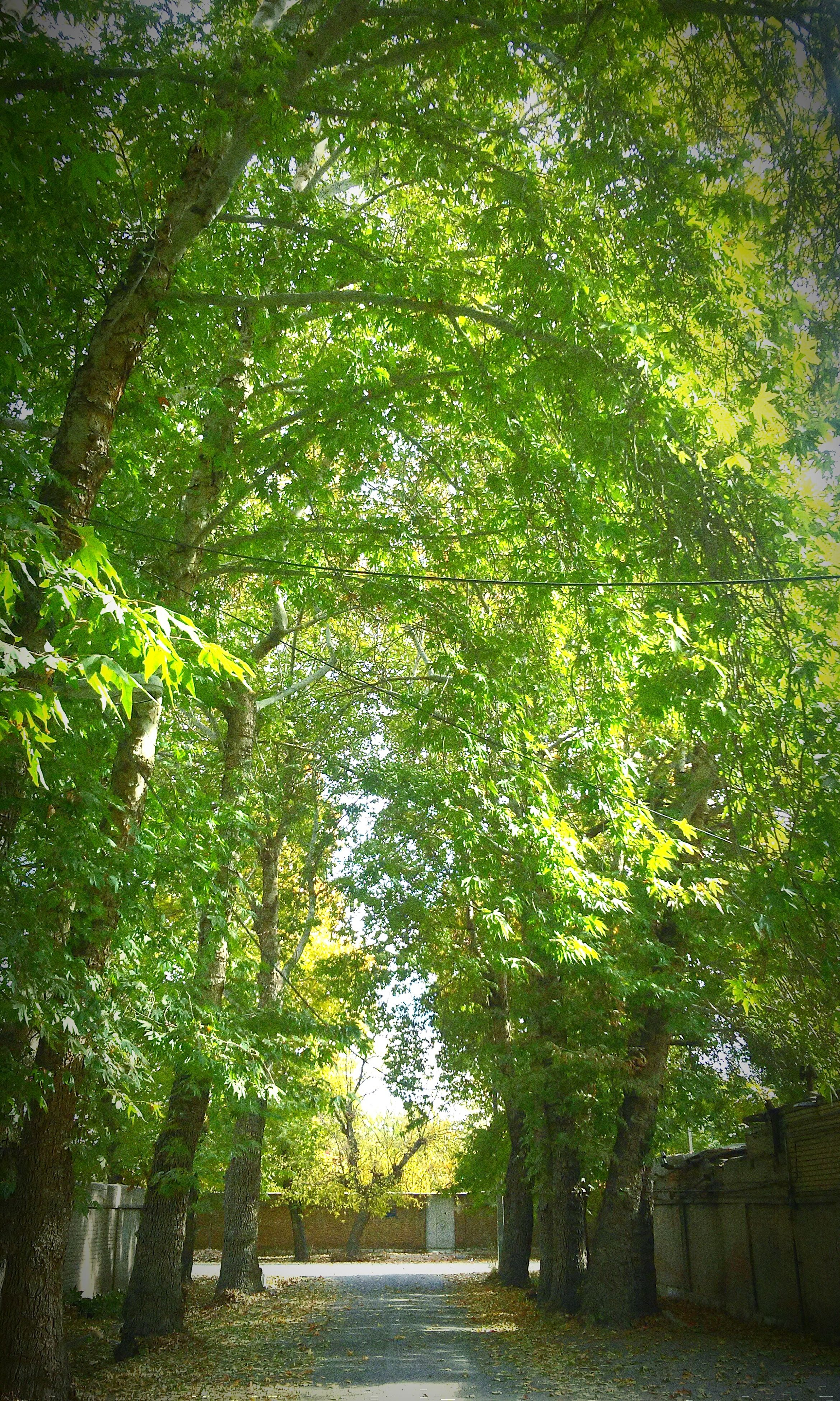 tree, growth, the way forward, green color, tranquility, nature, footpath, branch, park - man made space, beauty in nature, tranquil scene, pathway, walkway, street, lush foliage, outdoors, day, road, plant, empty
