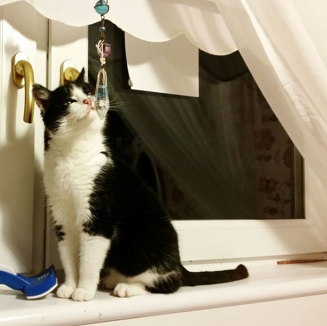 My idiot fuzzbomb of a cat, meeting my hanging crystal for the first time. Cute Pets Cat Cats Busy Background Old Cat A Cat Named Twig