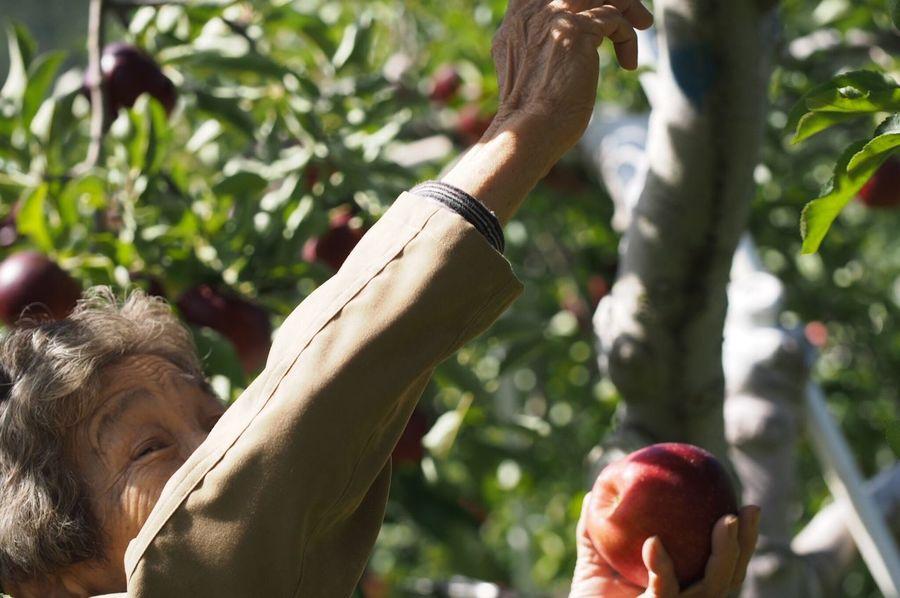 リンゴとおばあちゃん🍎 EyeEm Best Shots EyeEm Nature Lover Apple Tree Apple Enjoying Life Outdoors Green Color Red Green Nature MyGrandMother