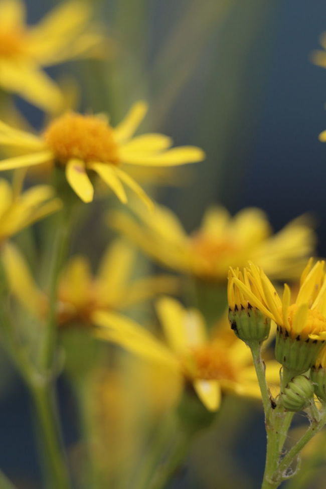 Beautiful Beautiful Nature Beauty In Nature Beauty In Nature Blurred Background Botany Close-up Flower Flower Heads Flowers Focus On Foreground France Freshness Growth Macro Photography Midi-Pyrenees Montauban Nature Nature Nature Photography Petal Selective Focus Tarn Et Garonne Yellow Yellow Flowers
