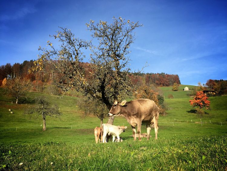 The Essence Of Summer Nature Summer Seeing The Sights Travel Switzerland Cows Countryside Two Is Better Than One