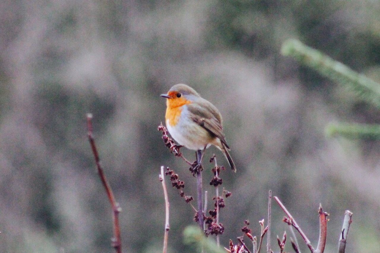 Standing tall Animal Wildlife Nature Robin Outdoors Close-up Songbird  Beauty In Nature Beauty In Nature Bird Perching