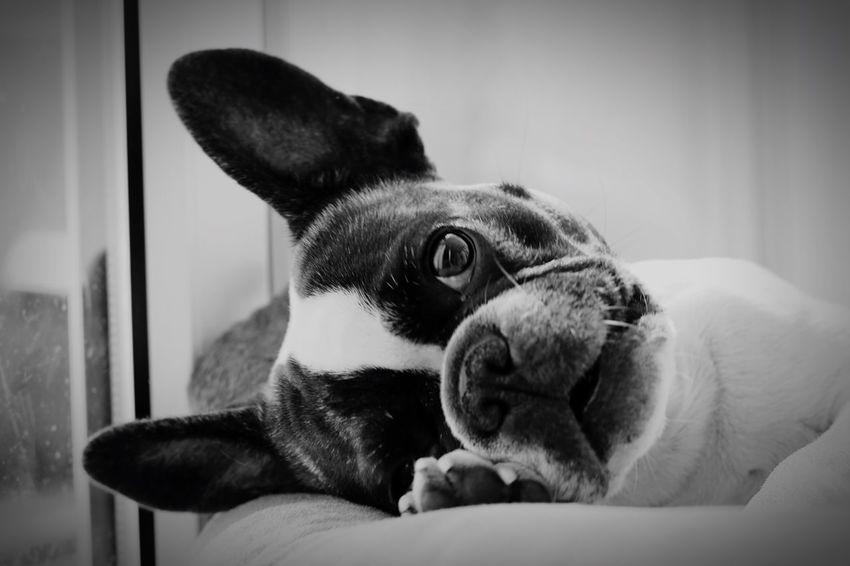 Aww Awww So Cute <3 Frenchbulldog Französiche Bulldogge