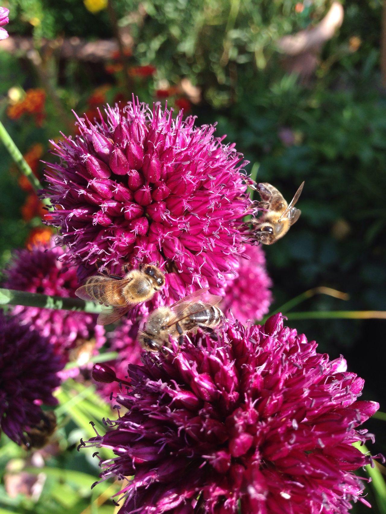 Garten Pflanze Natur Allium Sphaerocephalon Allium Flower Kugellauch Garden Zierlauch Garden Photography Lauch Wildbiene Wildbee Biene Bee Wildbienen Bienen Bei Der Arbeit Bienen  Bees Bees And Flowers