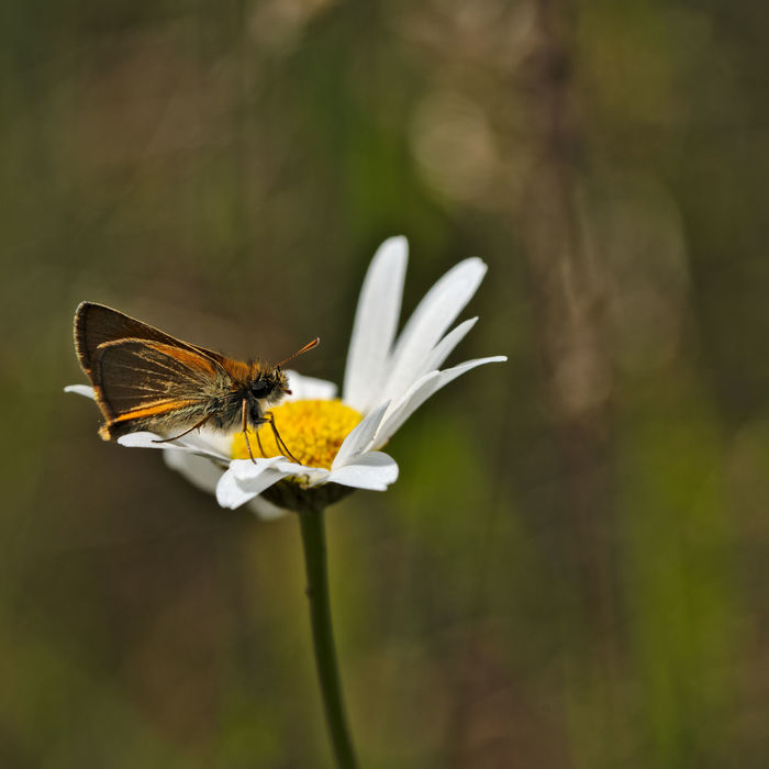 Animal Themes Animals In The Wild Beauty In Nature Butterfly - Insect Close-up Day Flower Flower Head Focus On Foreground Fragility Freshness Growth Insect Nature No People One Animal Outdoors Petal Plant Small Skipper