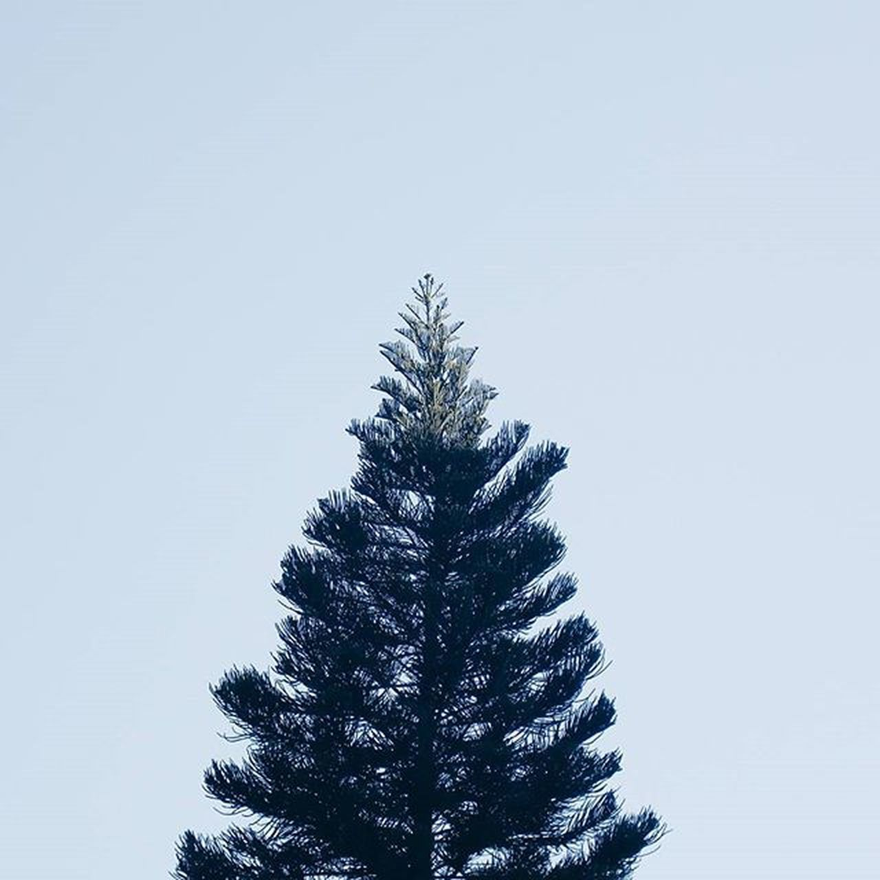 tree, silhouette, blue, low angle view, pine tree, nature, no people, clear sky, beauty in nature, growth, day, outdoors, sky, spruce tree