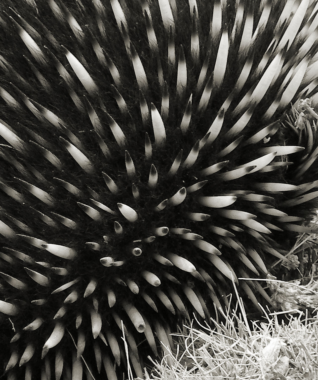 Belated Macro Monday :-O Backgrounds Black And White Blackandwhite Close-up Day Echidna Fanned Out Fragility Full Frame Macro Monday Macro Photography Nature Nature Through A Lens Nature Up Close No People Outdoors Pattern