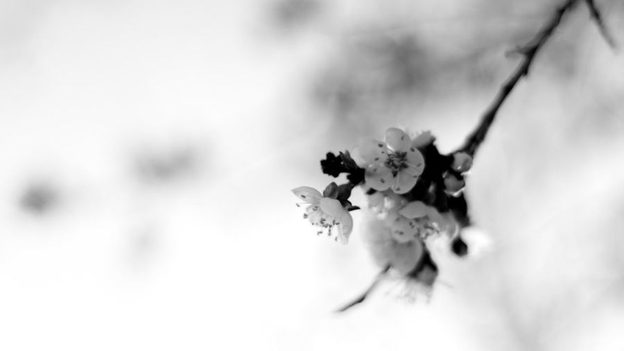 Bw Monochrome Nature Flowers Apricot Russia цветы абрикос