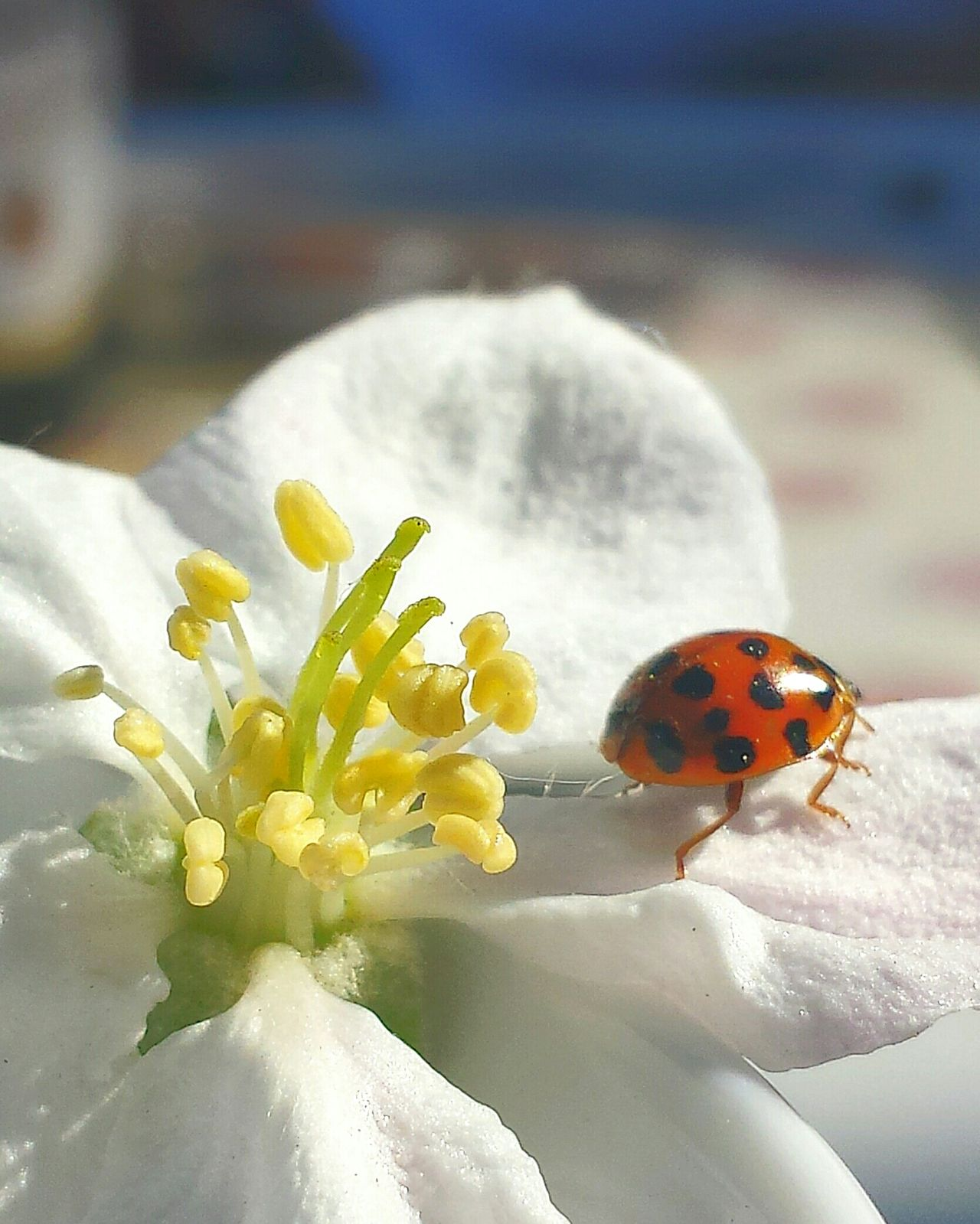 Apfelblűtenstempel ApfelblüteBeauty In Nature Natural Beauty Light And Shadow Ladybug On Apple Blossom Ladybug White Yellow Red Blue Apple Blossom Apple Blossom Petals Ladyphotographerofthemonth Showcase: May Natürliche Schönheit Beauty Of Nature Wonderful Nature Flower Porn Beliebtes Motiv Beliebte Fotos Popular Photos Close-up Detailed Images Nature's Diversities Pastel Background Ladybird Macro Considered As Lucky Charm