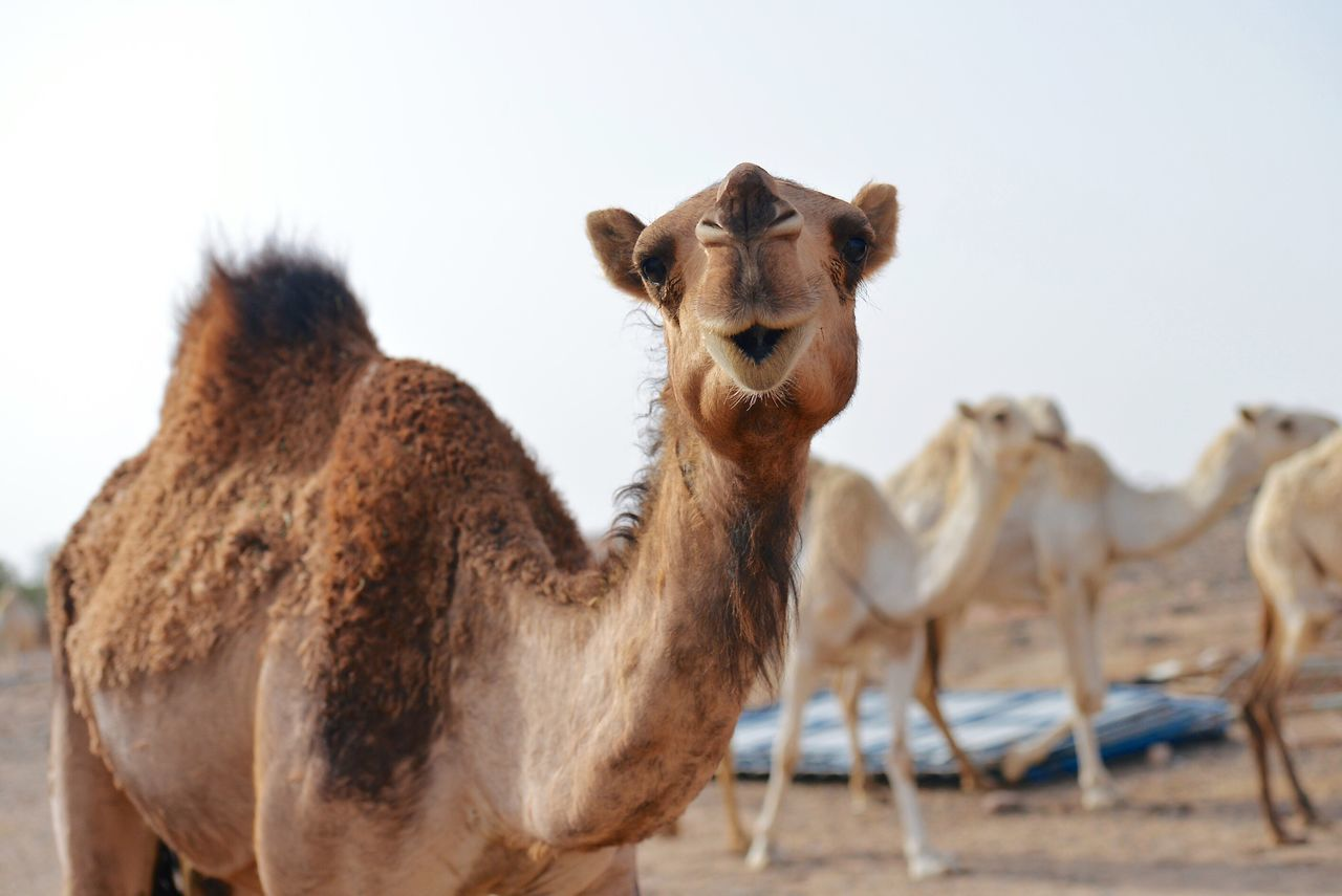 Hello World Cheese! Four Legs And A Tail Animals Cute Pets Camel