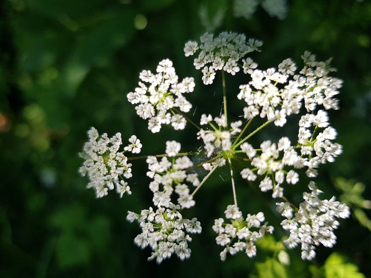 Flower Nature White Color Day Beauty In Nature Outdoors Plant Growth No People Green Color Close-up Fragility Springtime Freshness Leaf Plant Part Flower Head Tree Tranquility Tranquil Scene Summer Photooftheday Very Nice Beautiful Verybeautiful