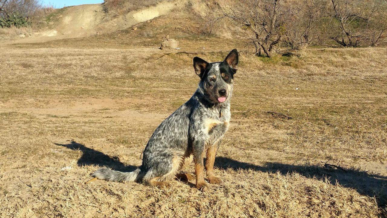 My Blue Heeler Puppy Dog!