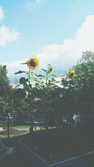 I'll follow the Sun . Summer Sunflowers Flowers Blue Sky Scenery