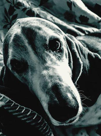 A basset portrait Camerafilters Blackandwhite Photography IPhone7Plus One Animal Domestic Animals Pets Dog Close-up Animal Head  Portrait Snout Bassethoundsare Best Bassethoundadventures Ilovemybassethounds Pampered Pooch