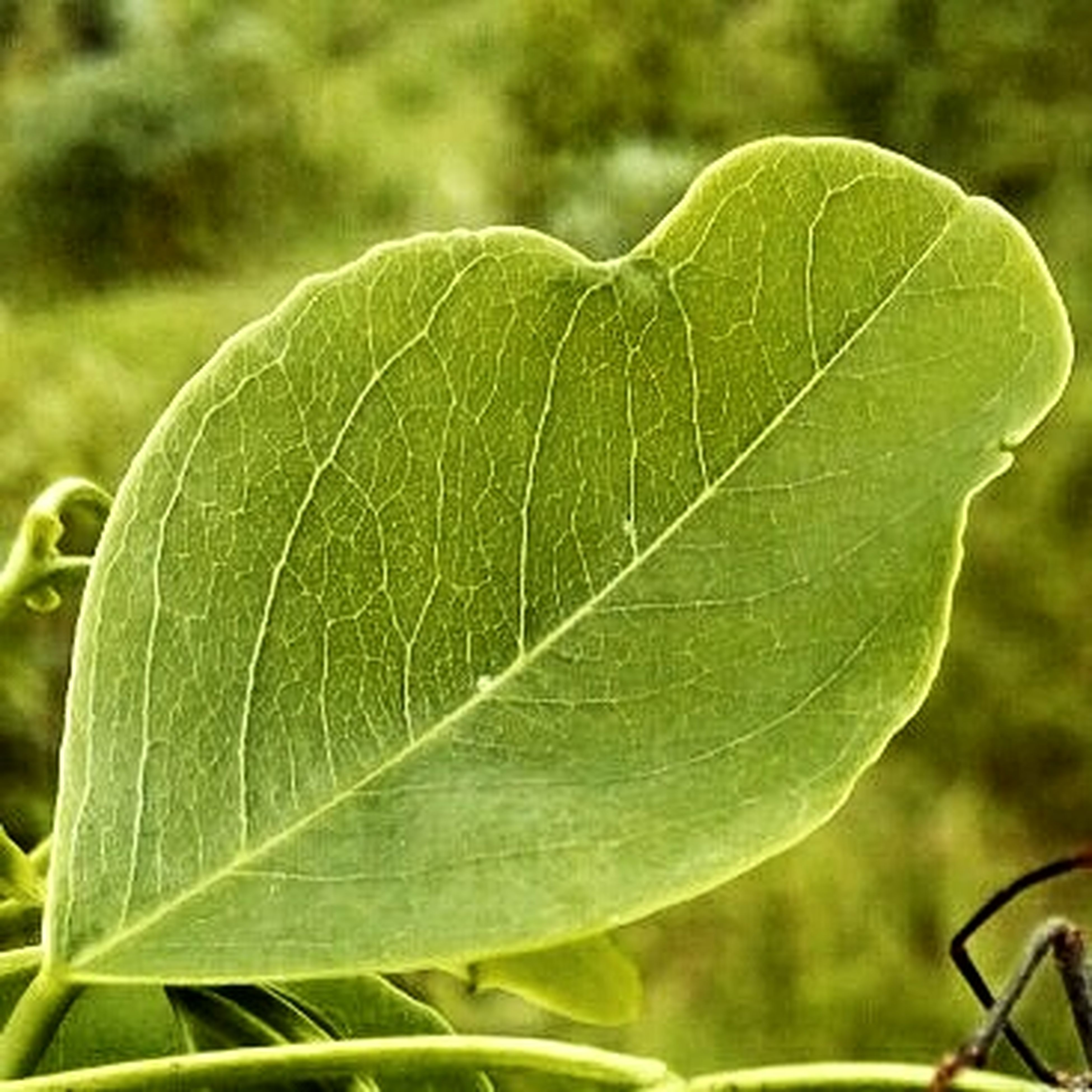leaf, green color, close-up, focus on foreground, plant, leaf vein, growth, nature, beauty in nature, outdoors, green, day, natural pattern, selective focus, fragility, no people, freshness, stem, one animal, sunlight